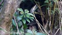 2014-10-18 戶外圓仔躲躲藏藏 (The Giant Panda Yuan Zai)