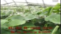 反季节大棚莲藕种植技术视频_中国有机农业网http://www.cnoa360.com/提供