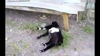 视频: 笑喷!这只羊太会装了