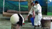 2014-09-30 圓仔與保育員玩耍 Giant Panda Yuan Zai plays with keepers