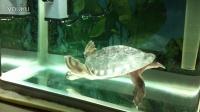 视频: 猪鼻龟