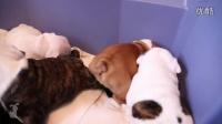 视频: 【藤缠楼】搞笑动物!可爱的斗牛犬宝宝