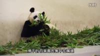 圓仔打臉式吃竹葉 Giant Panda Family's Eating Manner