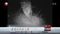 """黑龙江:过境东北虎""""库贾""""活动影像公布[东方"""