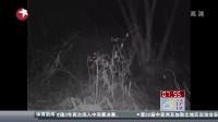 """黑龙江:过境东北虎""""库贾""""活动影像公布[看东方]"""