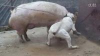 视频: 永利犬业种公杜高度茶咬猪测试QQ空间视频