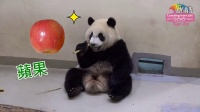 圓仔啃竹桿 Giant Panda Yuan Zai Nibbling Bamboo Stick
