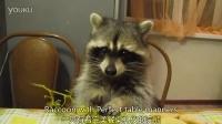 Raccoon with Perfect table manners有着完美餐桌礼仪的浣熊