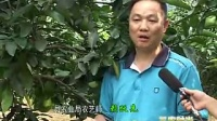 ?溪蜜柚病虫害发生与防治视频