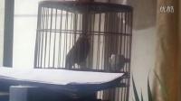 画眉鸟这种叫声是什么意思?