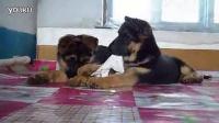 黑脸德牧2015年最新德牧德牧介绍德牧养殖在哪里买德牧山西专业训练训犬