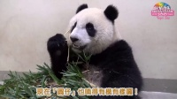 圓仔獨立運動-科學資訊輔助 Giant Panda Yuan Zai Learn to be Indenpendent