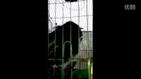 2014年会说话的鸟 遵义八哥YY说话视频