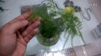 文竹冬季养护小贴士