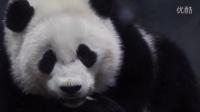 Giant Panda Bao Baos Cute Eyes