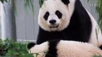 Giant Panda Bao Bao with Mom at pool