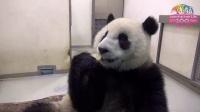 圓仔蟬聯最佳個性獎-想學馬來貘歪腰起舞 Giant Panda Yuan Zai Won Gold Award of Pa