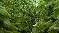 豆科蔬菜病虫害防治(上)[高效农业技术]标清视频