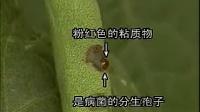 豆科蔬菜病虫害防治(下)[高效农业技术]视频