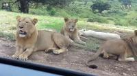 吓尿了 实拍动物园狮子打开游客车门