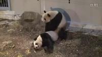 Panda pair mating at Tokyo's Ueno Zoo