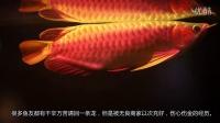 犯色陈SIR联合盘龙水族华中区最大渔场推送38厘米战车级印尼红龙