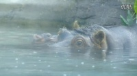 Baby Hippo Swims Into the World at the San Diego Zoo