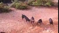 缅甸龙源全球华人: 蟒蛇和狗的斗争