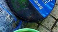 十分钟内半桶鱼 超有效率的第四代弹性助力环手抛网300的鱼获