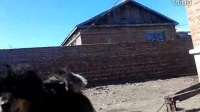 视频: 呼伦贝尔原生态蒙古獒QQ973718282电话15547006985