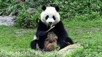 2015-04-03 圓仔吃劍筍 (The Giant Panda Yuan Zai)