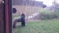 撞裂玻璃 动物园实拍银背大猩猩试图攻击游客