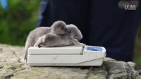 Cracking news as penguins hatch at Chester Zoo