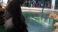上海动物园的银背猩猩不停地吃自己的呕吐物
