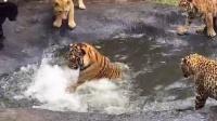 老虎狮子美洲虎对决2