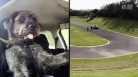 狗狗Monty开车 回转猛打方向盘超cute!