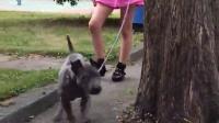 视频: 泰皇灰蓝脊背犬