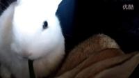 卖兔子 现在预定@曾卓文洪湖QQ719753937