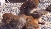 猴子嬉戏[].qsv