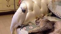 贱鹦鹉吵醒睡觉的猫咪 立马扭头装不知道[].qsv