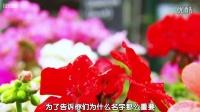 大不列颠园艺复兴--英国的天竺葵花园--你想象不到的美--恋花网视频