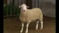 宝宝初看世界 看绵羊 听儿歌《小山羊小绵羊》