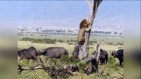 狮子因被野牛群追赶而逃到树上 150526