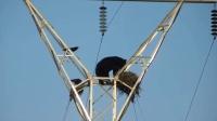 黑熊饿晕不顾危险 爬高压电杆偷吃鸟蛋 150526