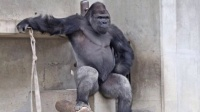 猪头传媒 2015 5月 日本史上最帅猩猩走红 表情冷酷霸道总裁范儿 150527