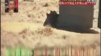 不作死就不会死---接触狮子,日本娱乐节目_标清