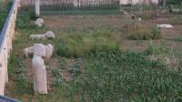 西安明秦王陵园变菜园 农夫置身其中种菜 150529