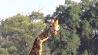 长颈鹿为争女友脖子折断 顽强活5年 150531