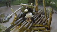 Toronto Zoo Giant Panda Da Mao Plays With Blanket