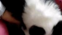 边牧视频  超可爱   上海自家名犬基地出售纯种边牧  微信号15198990603